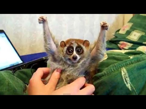 The truth behind the slow loris pet trade and 'cute' tickling slow loris videos