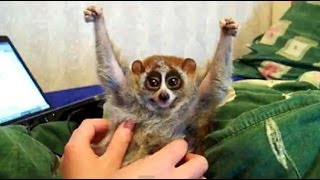 The truth behind the slow loris pet trade