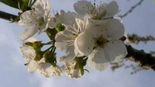 Lied Von Der Kirschblüte - Fred Frohberg