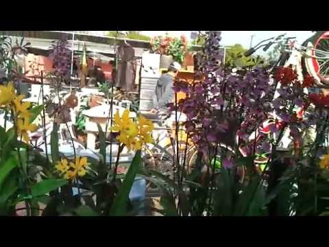 Hoa Lan Little Saigon CA (Tuyet's Orchids)