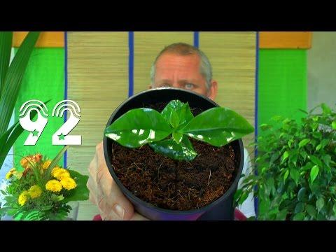Pflanzen Anzucht. Die Sämlinge und wie geht es weiter mit den Exoten und anderen Pflanzen Teil 92