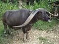 Kelakuan Gembala Adu Kerbau Tedong Silaga seru Banget!!! thumbnail
