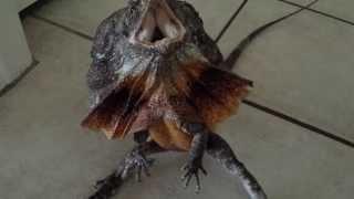 Australian frilled dragon freak out!