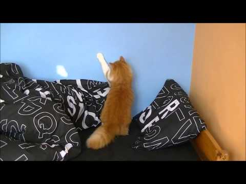 Cat dancing to Lady Gaga Americano like in Puss in boots