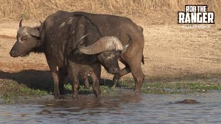 Crocodile Tries To Catch Buffalo As Hippos Watch (Introduced By Antony Raison)
