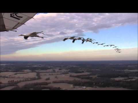 絶滅危惧種のアメリカシロヅルを代理親が越冬させる映像