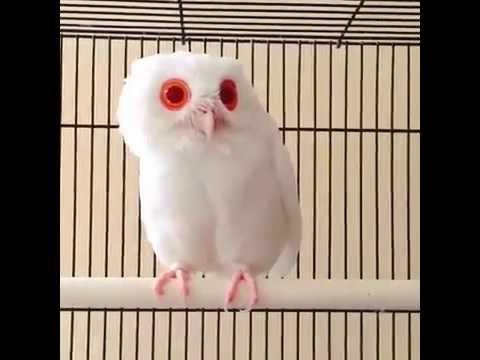 珍しい目が真っ赤なアルビノのフクロウ