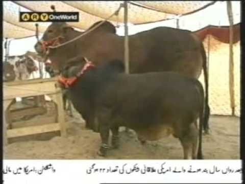 Eid al-Adha Qurbani Bull for 20 Lac Rupees only