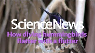 How diving hummingbirds flatter with a flutter | Science News