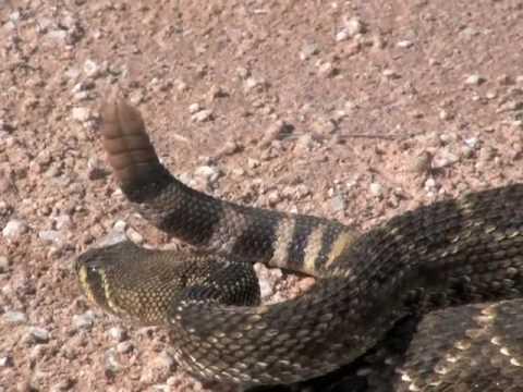 Rattlesnake Roundup Oklahoma Okeene Rattlesnake Roundup