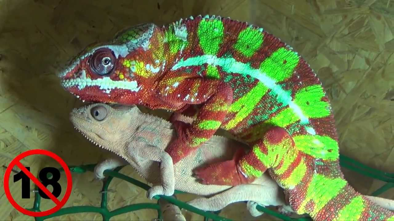 My friend's panther chameleon is awesome. : pics