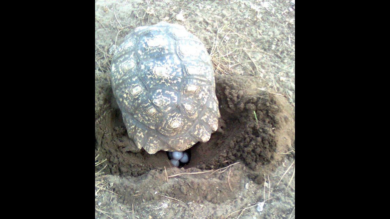 Tartaruga youtube for Deposizione uova tartarughe terrestri