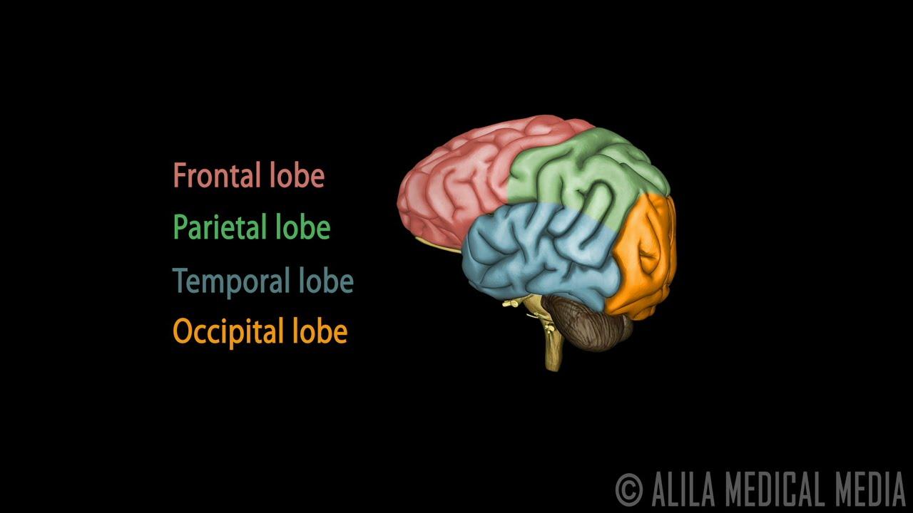 Human Brain Anatomy 3d Human Brain Anatomy And