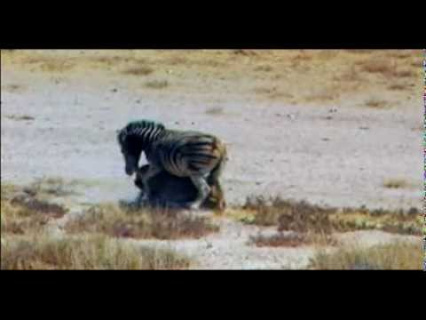 Lion Attack Zebra video