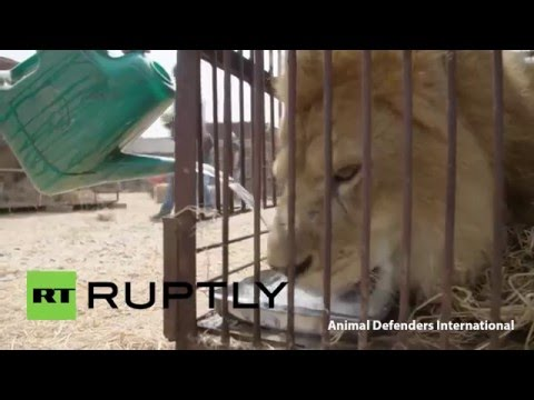 Peru: 33 rescued lions airlifted to sanctuary in South Africa