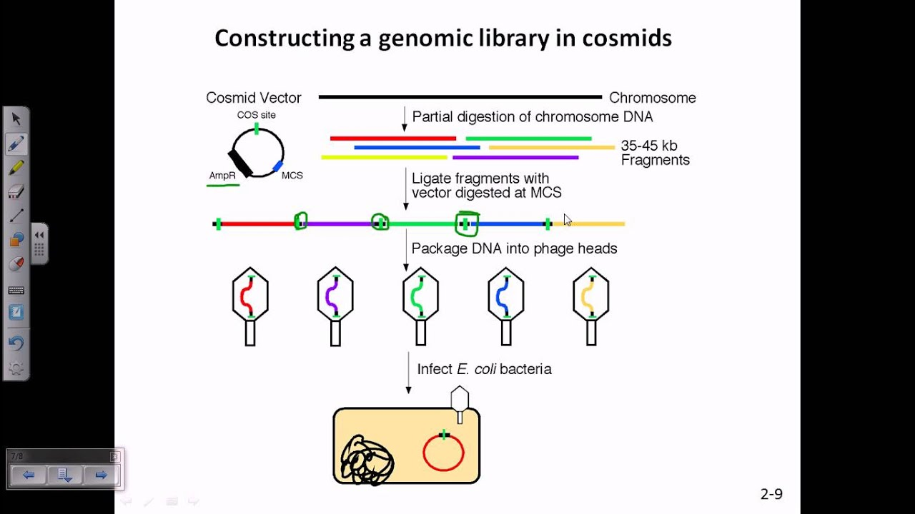 construction of genomic library using cosmids
