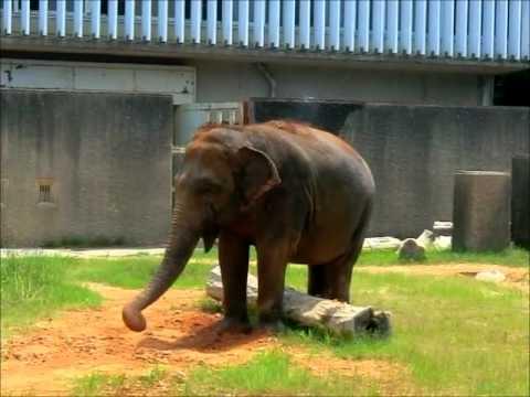 ゾウのパオーン♪ Elephant trumpet.