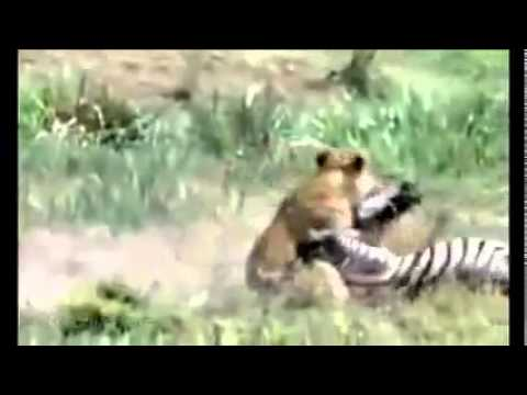Lion Attack Lion  S Powerful Attack Zebra Life Newcroos video