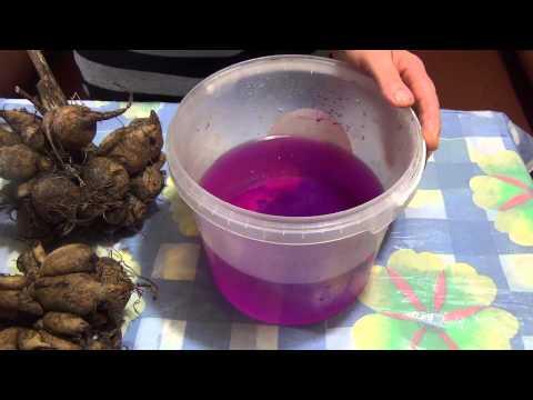 Подготовка клубней георгин к посадке ч.2 Preparation dahlia tubers for planting Part 2
