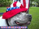 Happy 4th of July! Pit Bull Sharky and