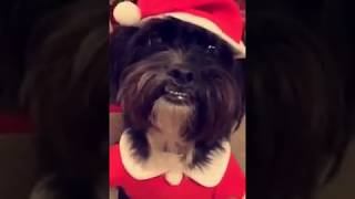 CAN'T STOP LAUGHING AT HER DOGS SANTA COSTUME!   FUNNY!