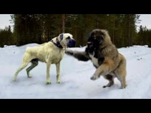 Strongest dog in the world russian