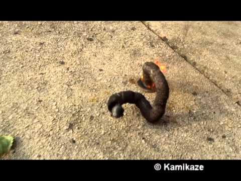 Cobra Black Snakes Fireworks Cobra Black Snakes