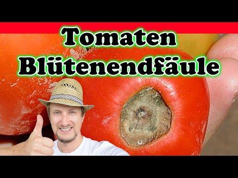 Tomaten Blütenendfäule Krankheit vorbeugen & bekämpfen