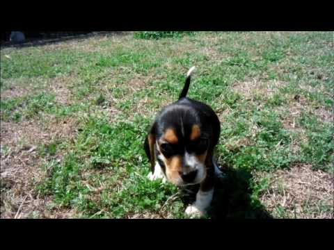 Beagle Puppy First Days Home.