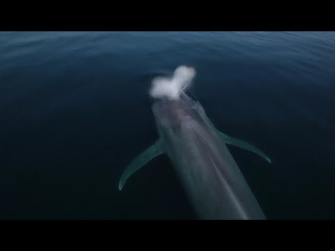 Blue Whales: hunted down to 2% of their population