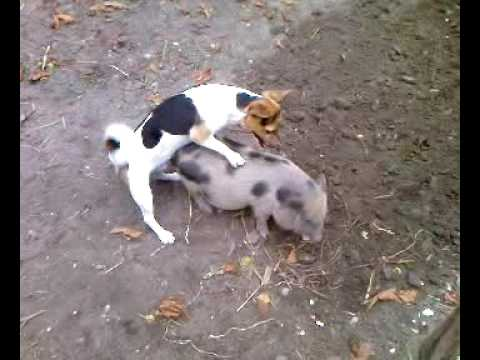 Dog Rapes Pig 1 video