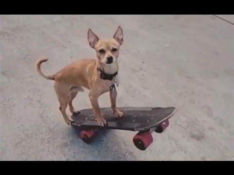 INSTABLAST!  MASSIVE 34 Stair Rail Smith Grind!! Amazing Skateboarding Chihuahua! 360 Flip 16 Stair!