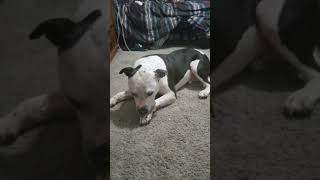 X.A. American Bully Oreo eating large milk flavor dog biscuits