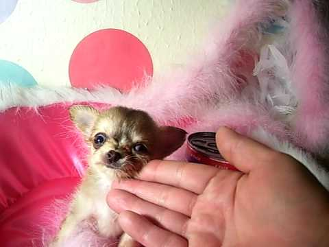 Micro Pocket Chihuahua Baby AnnaBelle From www.tinypawsandclaws.com Video