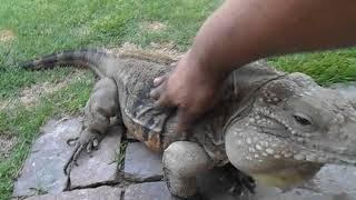 Lizard Greets Human like a Dog!
