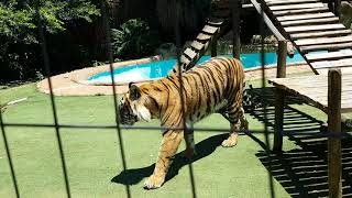 Best way to fight a tiger ! (The part that might just save Your life)
