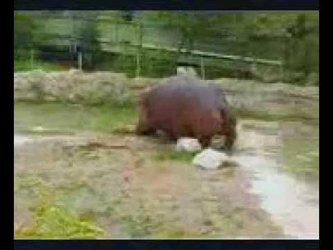 Hippo Explosive Diarrhea Hippo gets explosive diarrhea