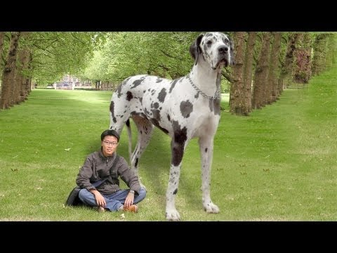 The World's Largest Dog