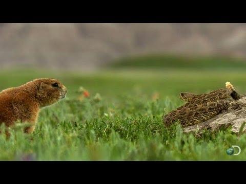 Brave Prairie Dog Confronts Snake | North America