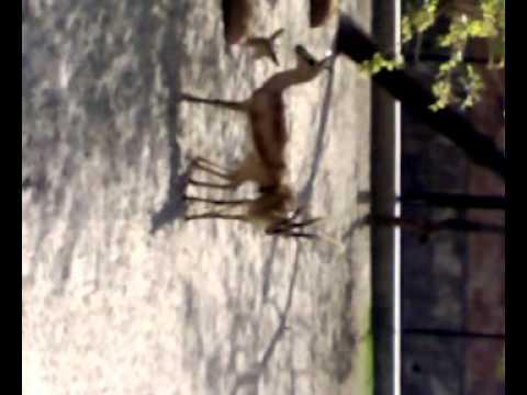 Deer Sex Lahore Zoo video