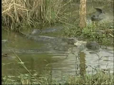 American Alligator in Winter