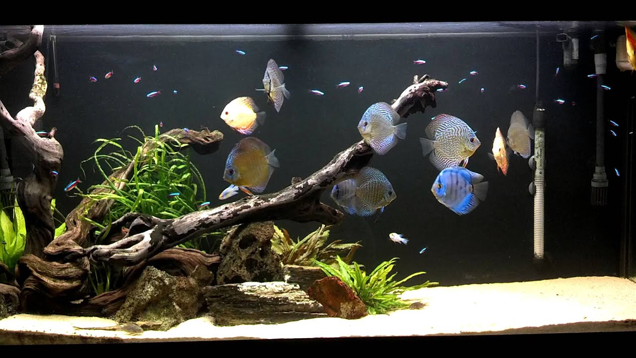 Josh 39 s discus fish tank blue fish aquarium for Youtube fish tank