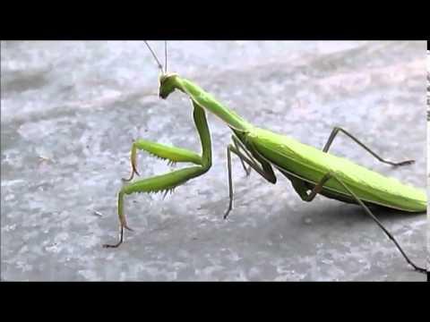 Богомол  Насекомые  Насекомое  Mantis