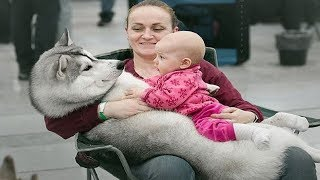 Alaskan Malamute dog and Baby Cute Compilation