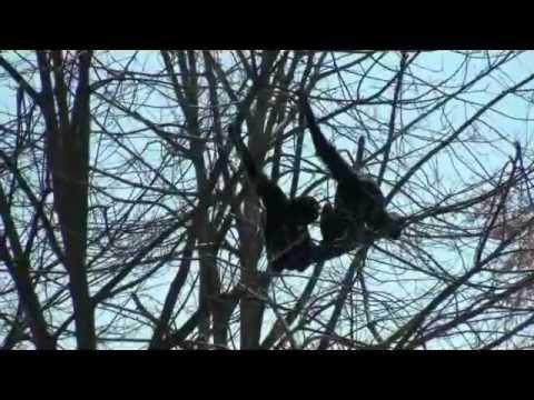 BIOPARK ZOOM , CUMIANA TORINO – I GIBBONI SIAMANGHI