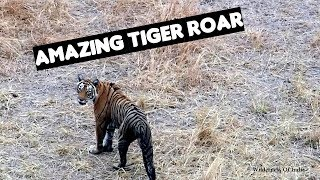 Jungle Calls - Tiger Roaring in Ranthambore