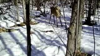 Comment approcher un chevreuil en hiver...