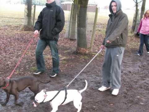 Ireland's Pit Bull Terrier Association