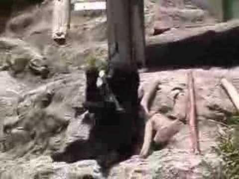 熊 広島カープ栗原バットまわし 安佐動物公園