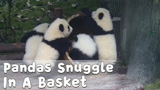 A Bunch Of Pandas Snuggle In A Basket | iPanda